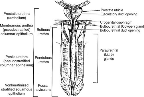 Length Of Urethra Male And Female