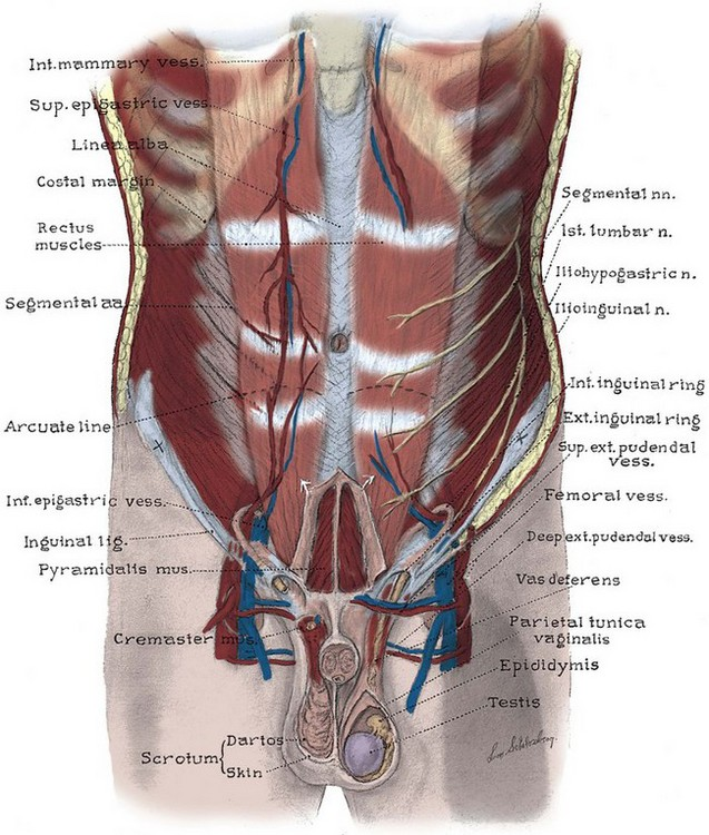 Anatomy Of The Lower Urinary Tract And Male Genitalia Abdominal Key