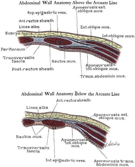 Anatomy of the Lower Urinary Tract and Male Genitalia | Abdominal Key