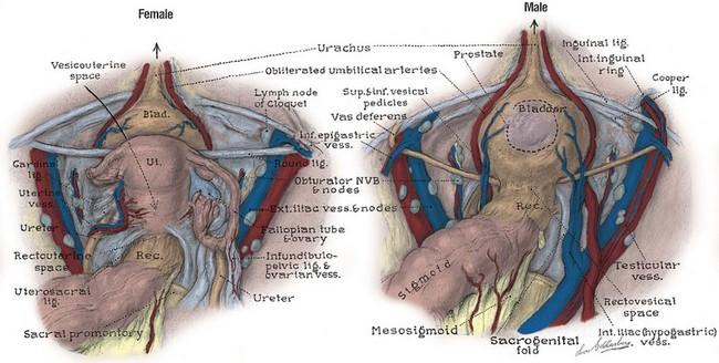 Anatomy Of The Lower Urinary Tract And Male Genitalia Abdominal Key