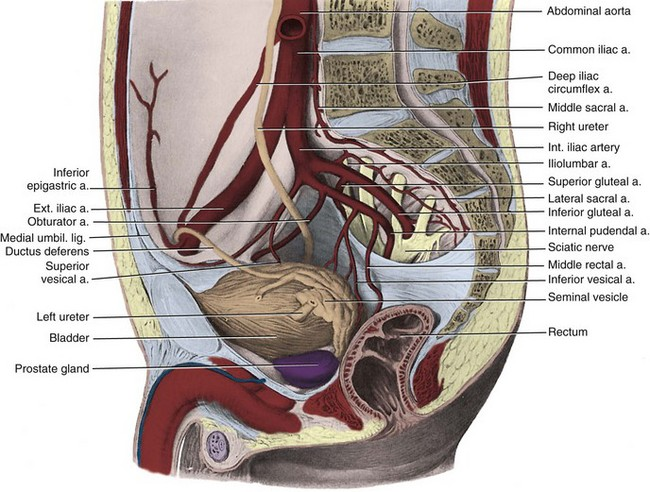 anatomy of the lower urinary tract and male genitalia | abdominal key, Muscles