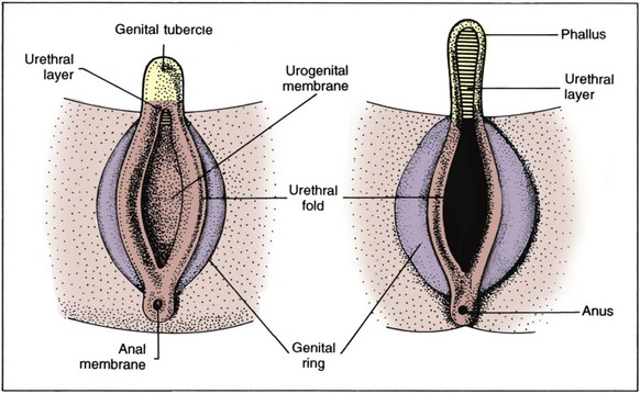 Sexual Differentiation: Normal and Abnormal | Abdominal Key