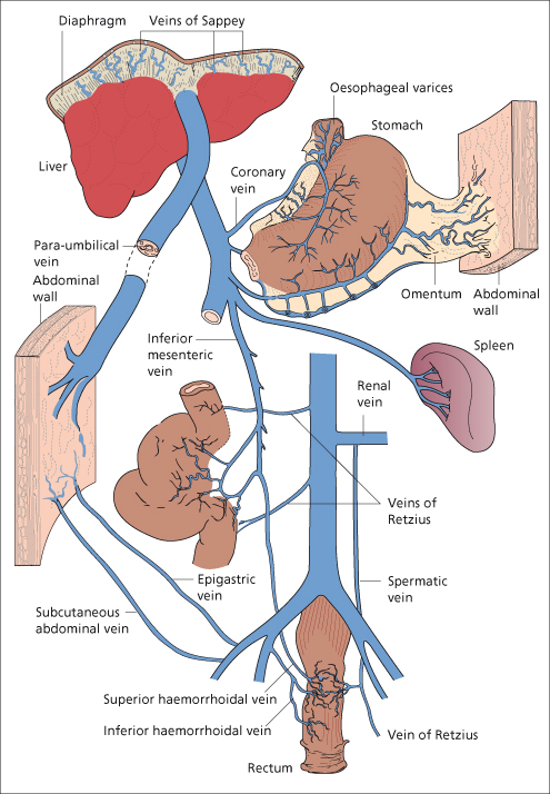 Liver circulation anatomy