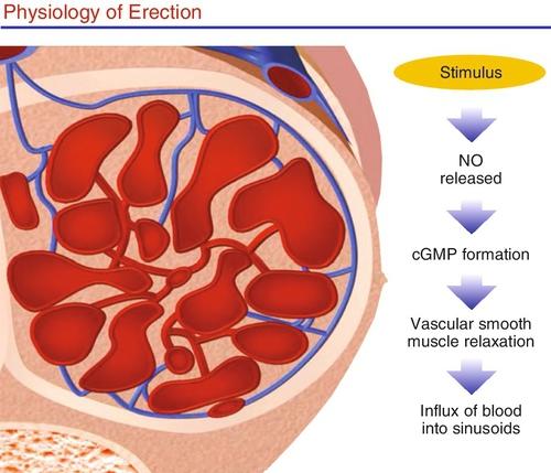 erectie stimulatie