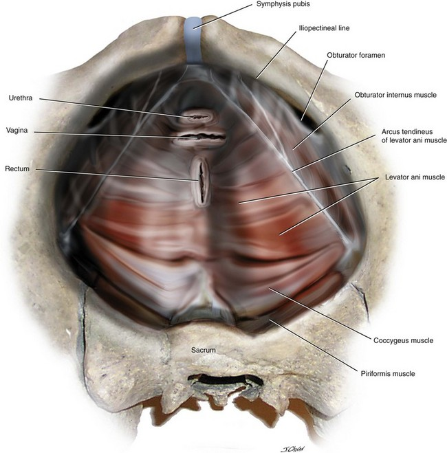 Surgical Anatomy Of The Pelvis And The Anatomy Of Pelvic Support
