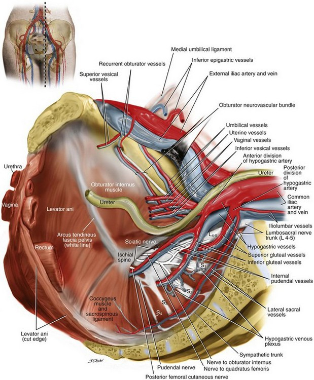 Surgical Anatomy of the Pelvis and the Anatomy of Pelvic Support ...