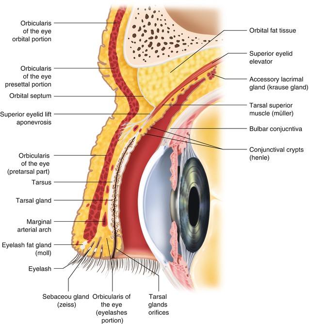 Anatomy Of The Lacrimal Drainage System Abdominal Key